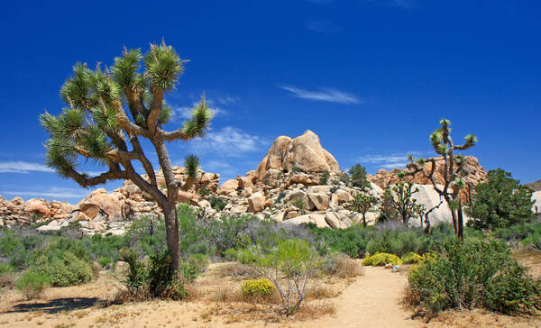 Joshua Tree National Park ligt vlak bij Palm Springs
