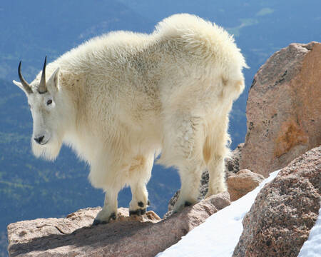 Snow Goat, Rocky Mountains