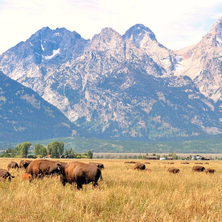 Bizons in Grand Teton National Park in Wyoming