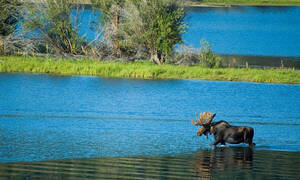 Een eland in Grand Teton National Park.