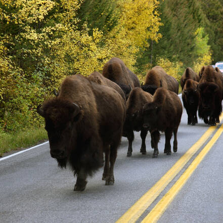 In Yellowstone kun je vast komen te zitten in een heuse buffalo-jam