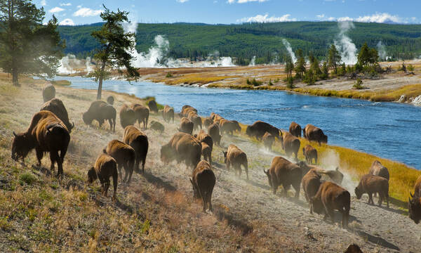 Bizons in Yellowstone National Park