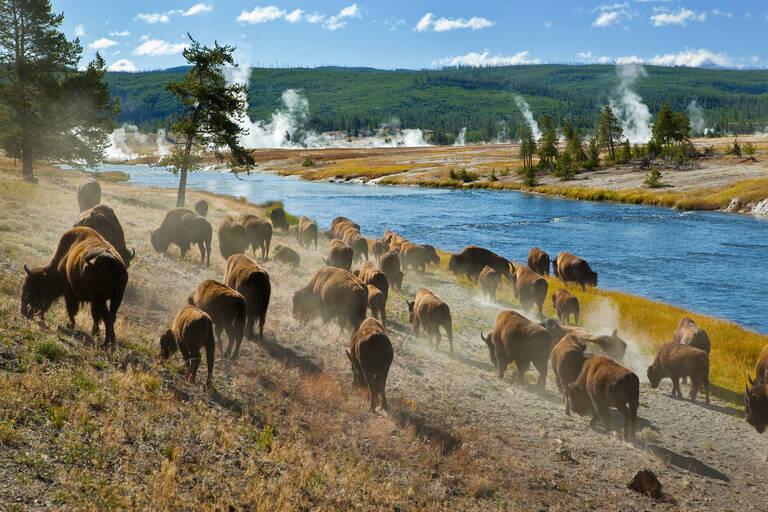Yellowstone bizons