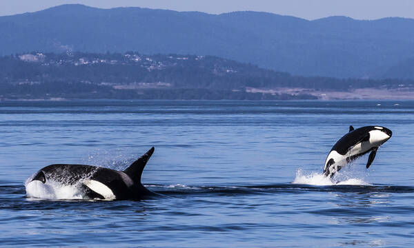 Orka's in de Campbell River