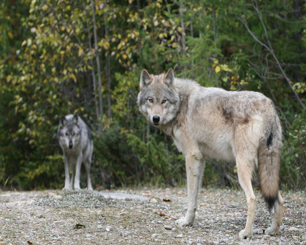 wolf west-canada rocky mountains