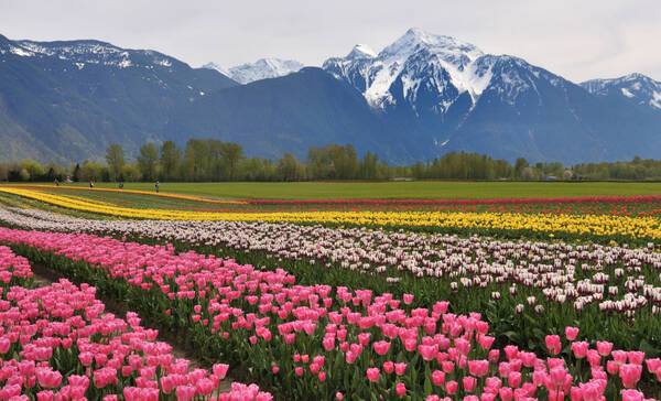 Mount Cheam en tulpenvelden bij Agassiz nabij Harrison Hot Springs