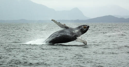 Whale Watching, Tofino