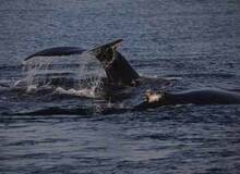 hyannis whale watching