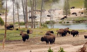 Yellowstone Lamar Valley Wildlife Excursion